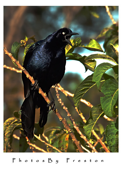 adultcommongrackle.jpg
