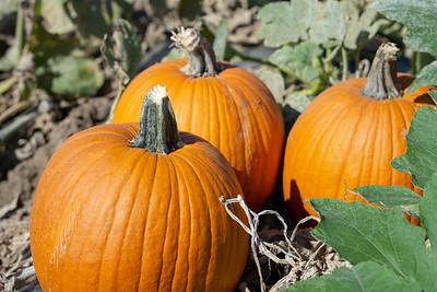 Crossroads CSA Pumpkin Patch