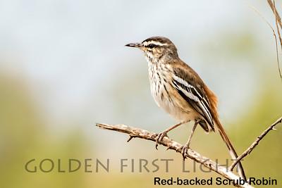 Red-backed Scrub-Robin, Kenya