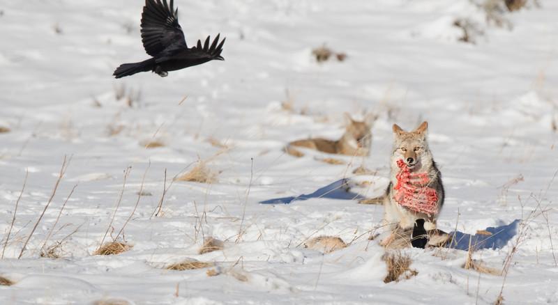 'Rack of Deer' Coyote Yellowstone.jpg