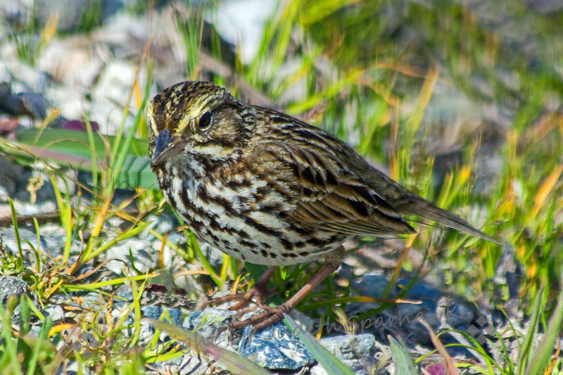 Belding's Savannah Sparrow ~ This Savannah Sparrow is of the Pacific Coastal sub-species, Belding's.  It is darker than the other sub-species, but retains the yellow eyebrow.  It was photographed at Bolsa Chica Estuarine Reserve in Huntington Beach, CA.