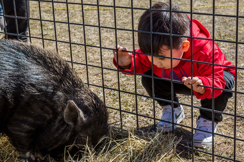 Donald Robinson, 3, checks out a pig during the Next Level Church's Helicopter Egg Drop and Family Event at the Rochester Fairgrounds Sunday. [Scott Patterson/Fosters.com]