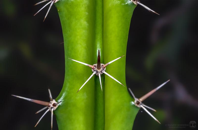 Triangle cactus