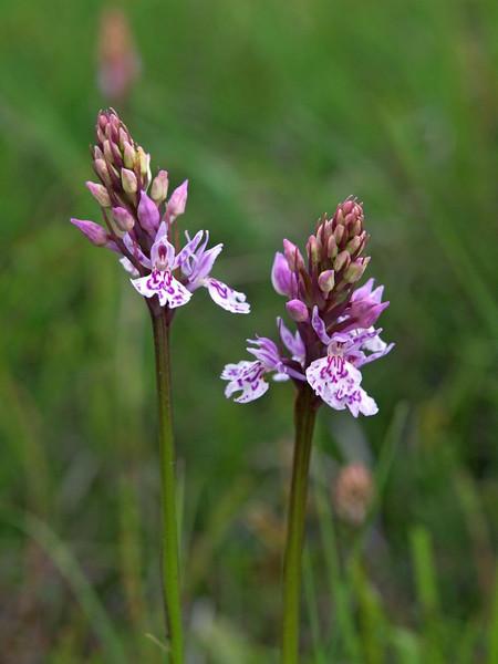 D. maculata ssp. ericetorum Havelterberg 12-06-13 (8).jpg