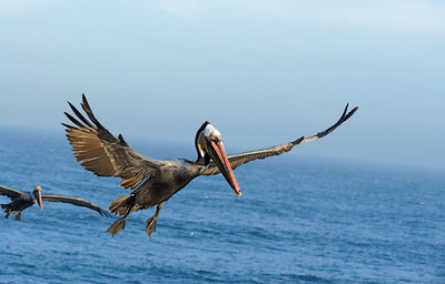 Flying Pelicant, La Jolla Cove.jpg