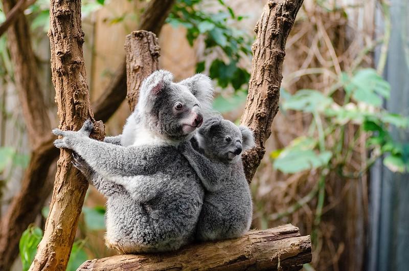 Koala Bears in Australia