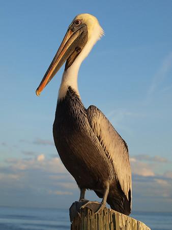 Pelicans II