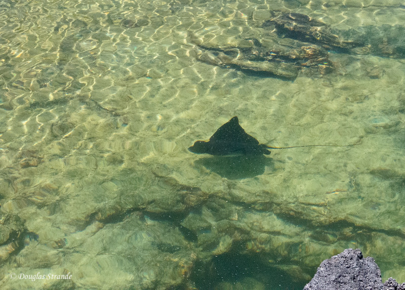 Spotted Ray in the tidal pool on Punta Moreno, Isabela Island
