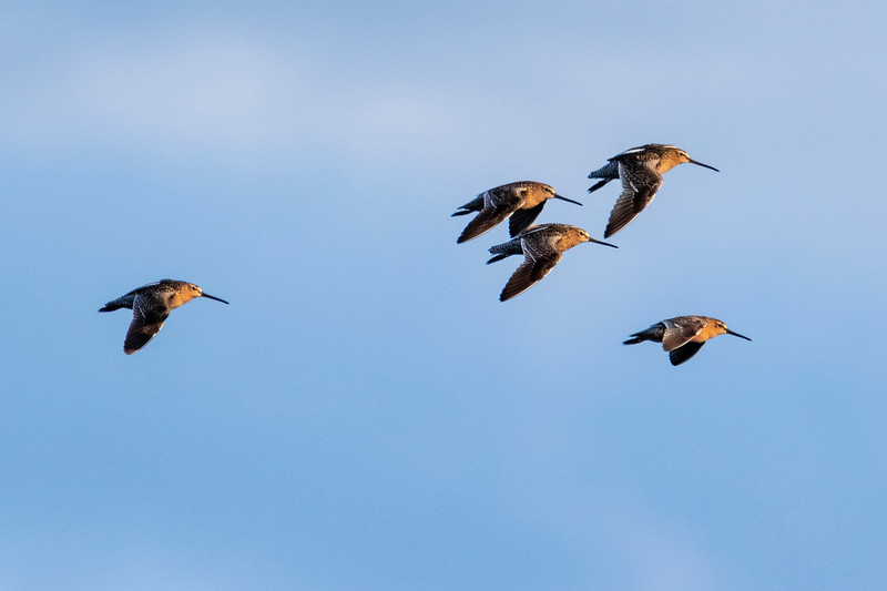 5.14.19 - Blackburn Creek Fish Nursery: Short-Billed Dowitchers.