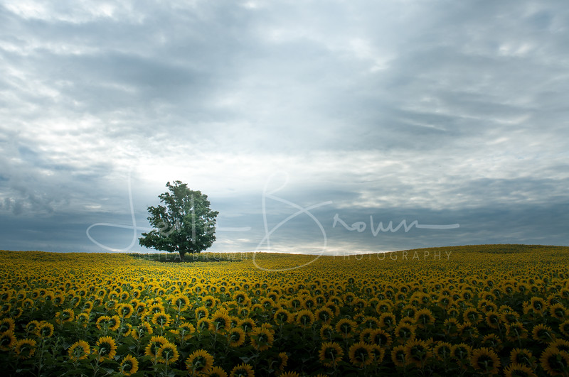 Sunflower tree.jpg