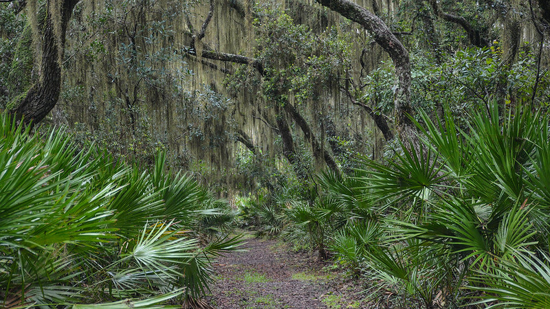 Archway of sand live oaks with Spanish Moss