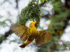 Southern Masked Weaver in Action