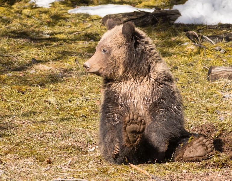 Grizzly cub Yellowstone National Park WY DSC06487.jpg