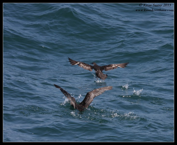Feeding frenzy, Black-vented Shearwaters, Whale Watching trip, San Diego County, California, June 2015