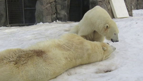 WHITE BEARS PLAYING