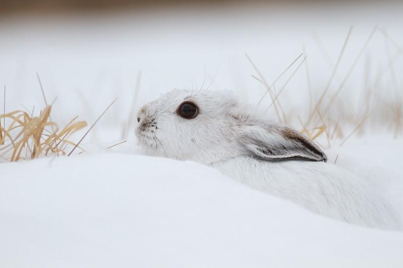 Snowshoe Hare Lepus americanus CR52-Arkola Sax-Zim Bog MN IMG_0002195.jpg