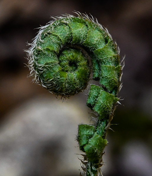 Fiddlehead in Spring