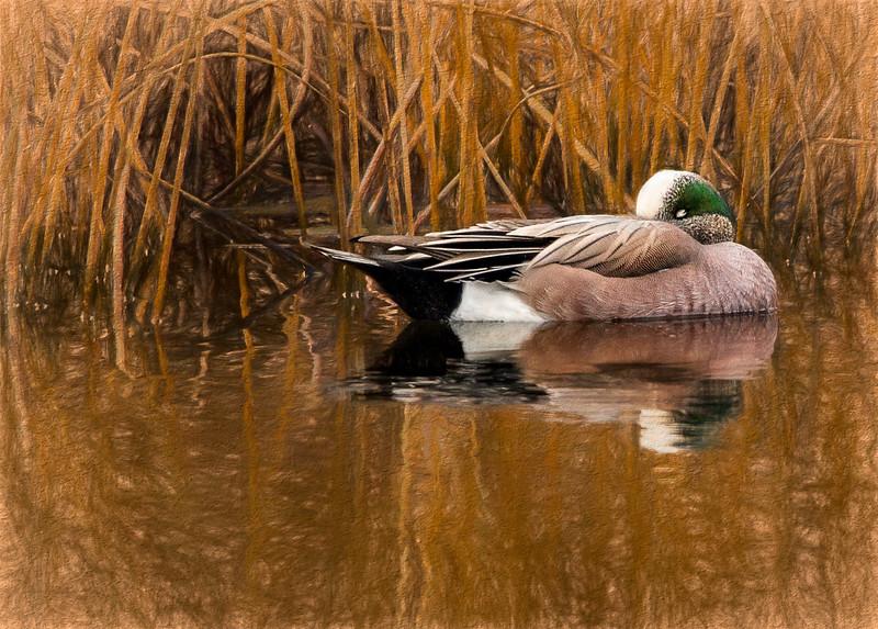 American Wigeon Duck impressioncavedwellerIII.jpg