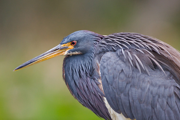 Tri-Colored Heron at Green Cay Wetland
