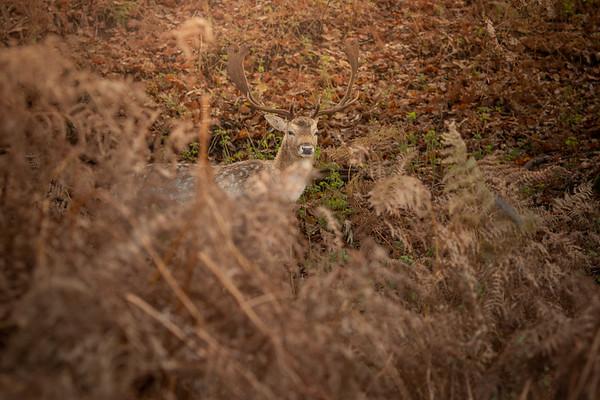 2019 - Deer at Knole Park November 005