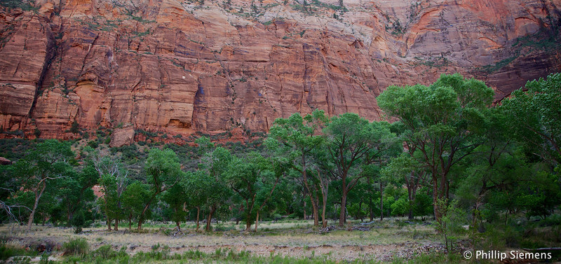 Cottonwoods at the base of Angel's Landing