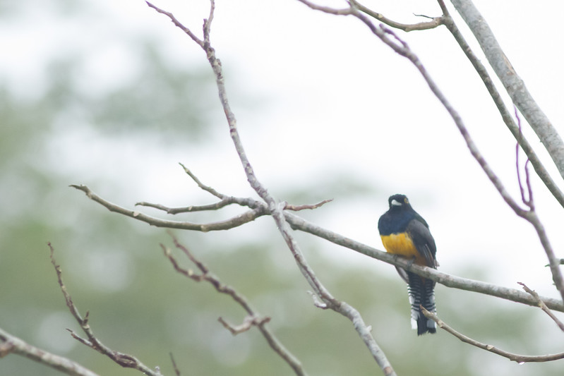 Violaceous / Guinan Trogon - Record - Costa Rica