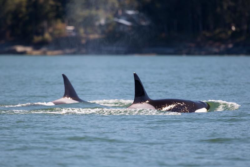 Orcas -  073115-332.jpg
