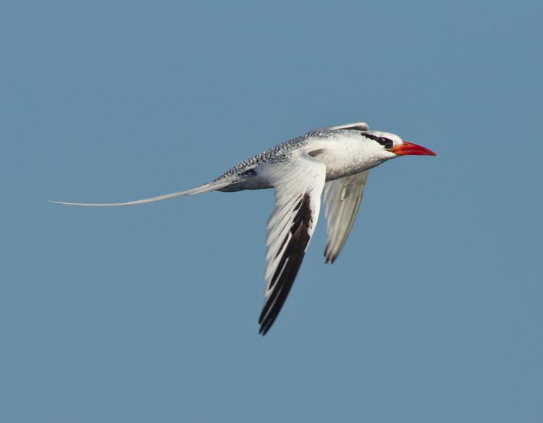 Tropicbirds (Phaethontidae)