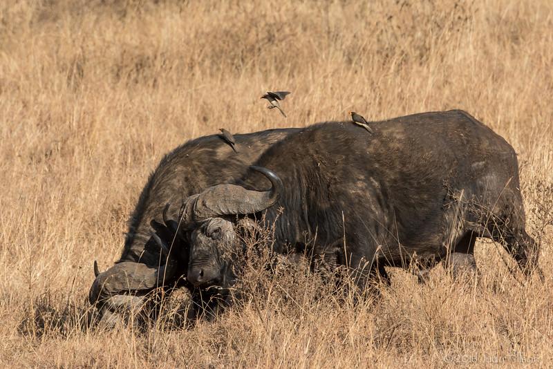 Tanzania Serengeti African buffalo with redbilled oxpecker-9534.jpg