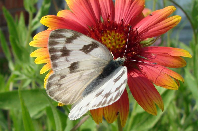 Checkered White (Pontia protodice) female.  TX: Tarrant Co. (Duhons' Fort Worth yard), 19 May 2007.