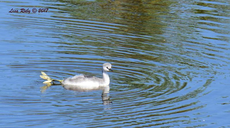 Juvenile Western or Clark's Grebe, needs to grow into its feet :-) - 6/14/2017 - Lake Hodges Pedestrian Bridge