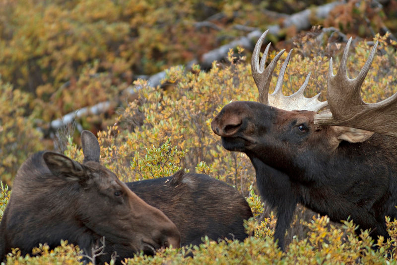 . A cow moose stands near the bull moose.  Fall is the breeding season for moose, generally running through October. (Werner R. Slocum/The Denver Post)