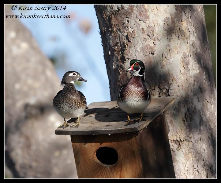 Wood Duck pair guarding their nest, Santee Lakes, San Diego County, California, February 2014