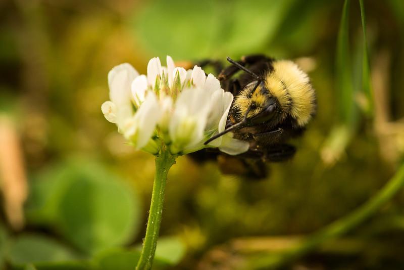 Bumble Bee Macro-0650.JPG
