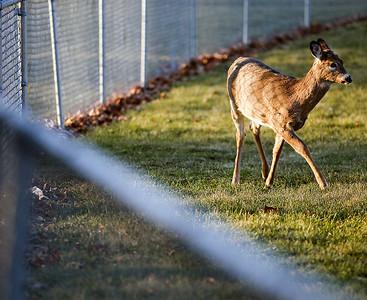 20141211 - Deer (SN)