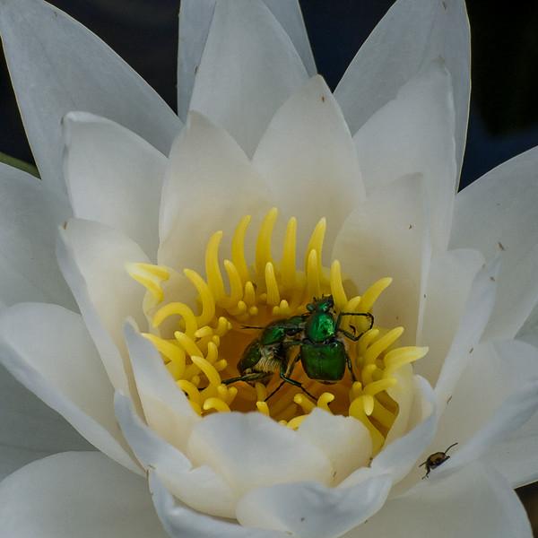NA_Shiny-Green-Beetle_GambleJ.jpg