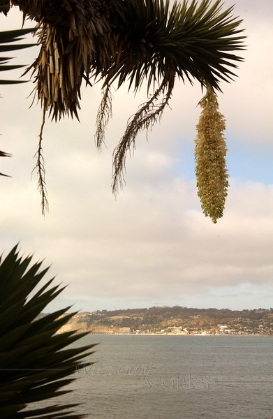 Palm in La Jolla, CA