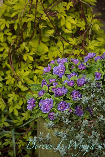 Primula vulgaris 'Kerbelpicotee' Belarina Amethyst Ice - Humulus lupulus 'Aureus'_0228.jpg