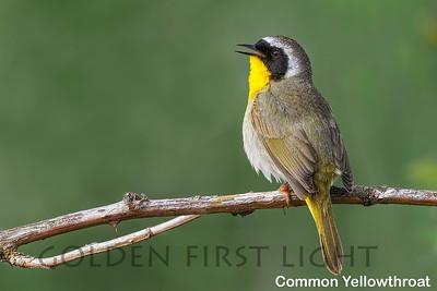 Common Yellowthroat, Ridgefield National Wildlife Refuge, USA