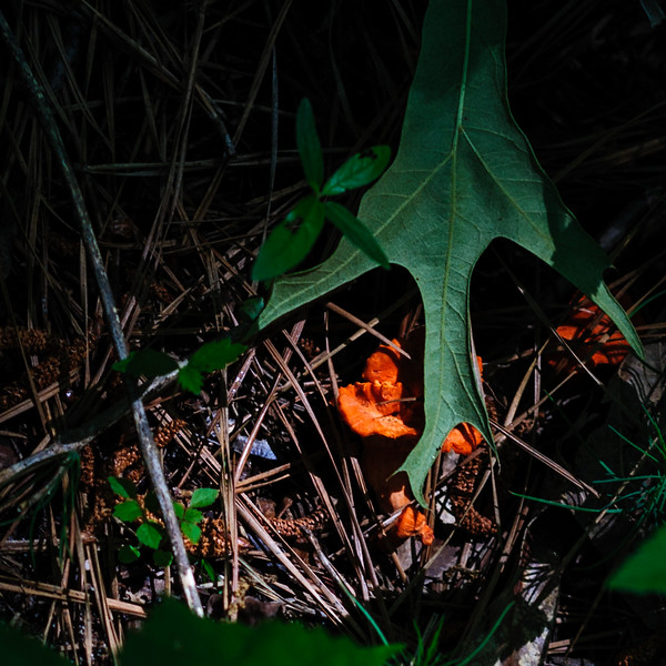 red mushroom Huntsville State Forest-4219.jpg