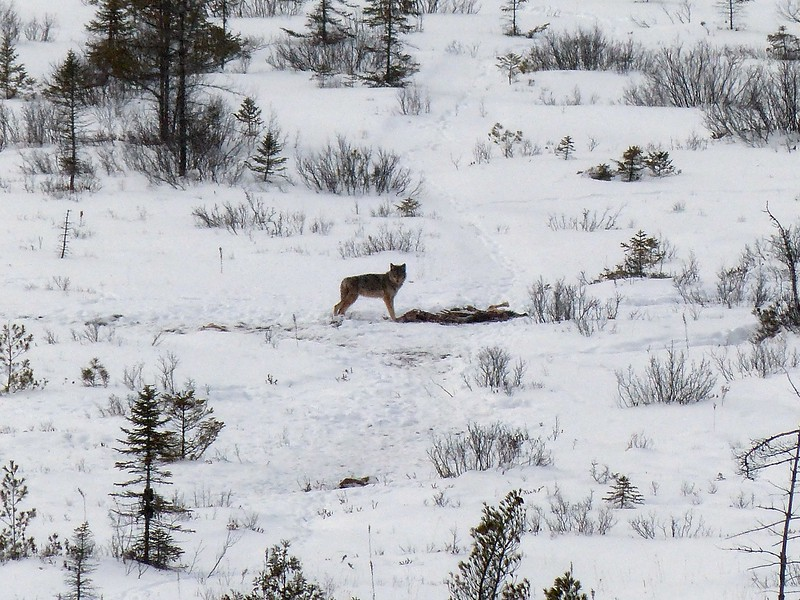Eastern Wolf - feeding on a Moose carcass that was placed there by Park staff