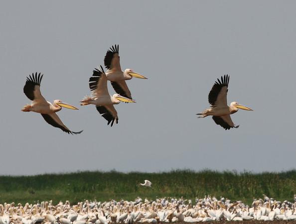 Pelican Tanzania 2006
