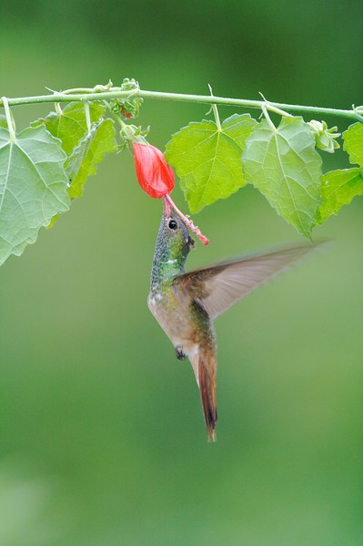 Buff-bellied Hummingbird  visits a Turk's Cap blossom (Malvaviscus arboreus) [April; Krenmueller Farms, Lower Rio Grande Valley, Texas]