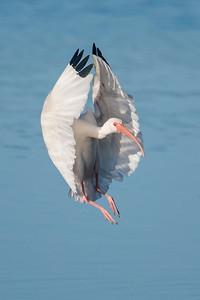 April 9, 2017 - Sanibel - White Ibis