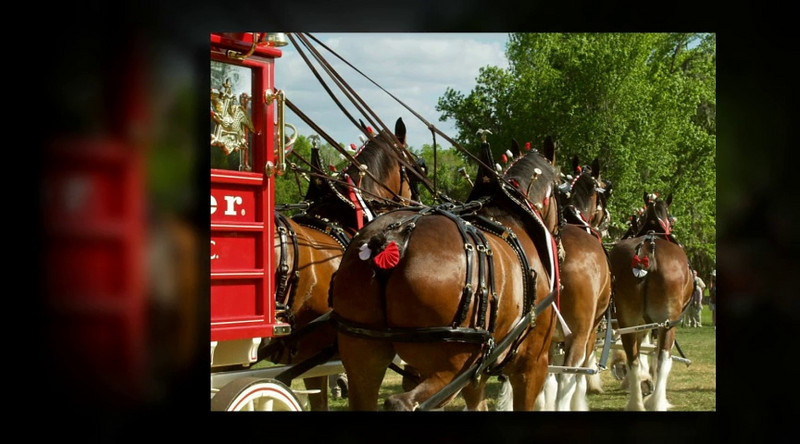 Budweiser Clydesdales