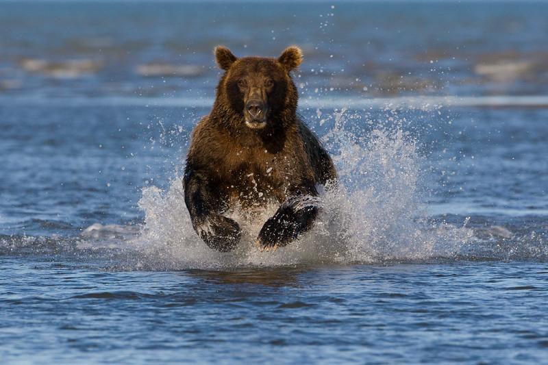 Bear Charging 24x36.jpg