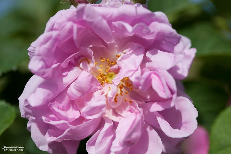 Roses Water (66)-Aljabal Alakhdhar-Oman.jpg