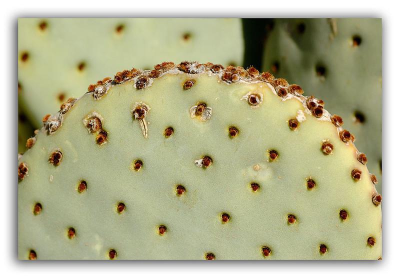 Pear-Cactus.jpg
