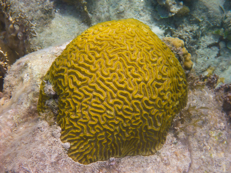Brain Coral in the watters off Hassel Island, St Thomas