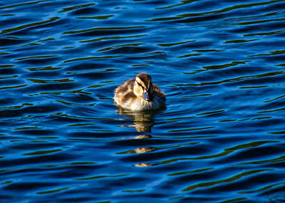 Baby duck floating in the water